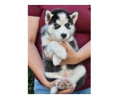 Akc Female Husky Puppy!