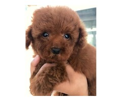 Dark Red Toy Poodle Puppies