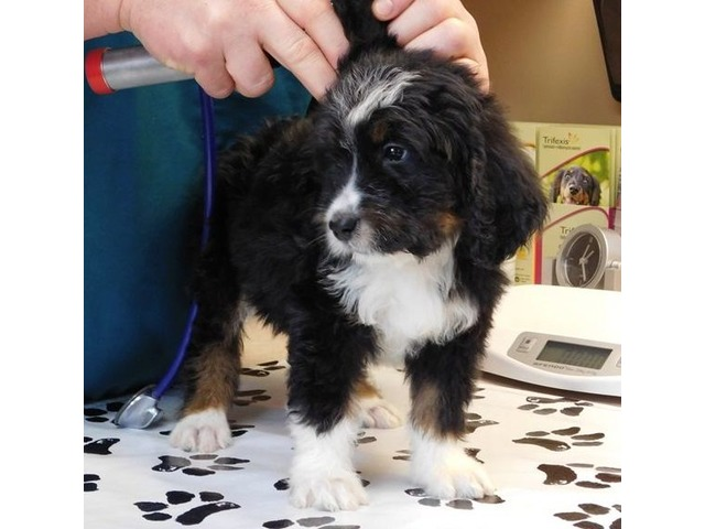 Beautiful Bernese Mountain Dog Puppies For Sale Animals