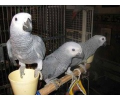 Hand reared baby african grey parrot available now