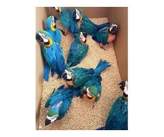 Hand reared baby Macaw parrot available now