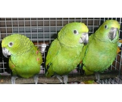 Hand reared baby Amazon parrot available now