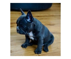 Kc Reg Blue & Tan French Bulldog Female