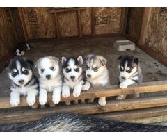 Adorable Blue Eyed Siberian Husky Puppies