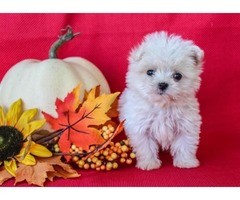 Maltese Puppies Needs a New Family
