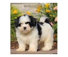 Good Looking Shih Tzu Puppies Ready Now