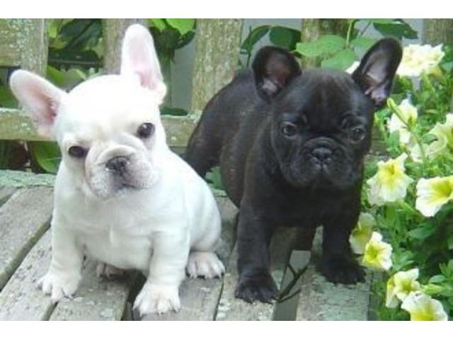 FrenchBulldogPuppiesforAdoption