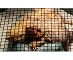 2 Large bearded dragons
