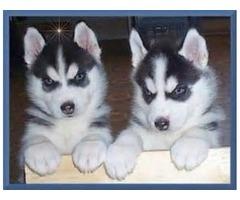 Siberian Husky Puppies Blue eyes Ready
