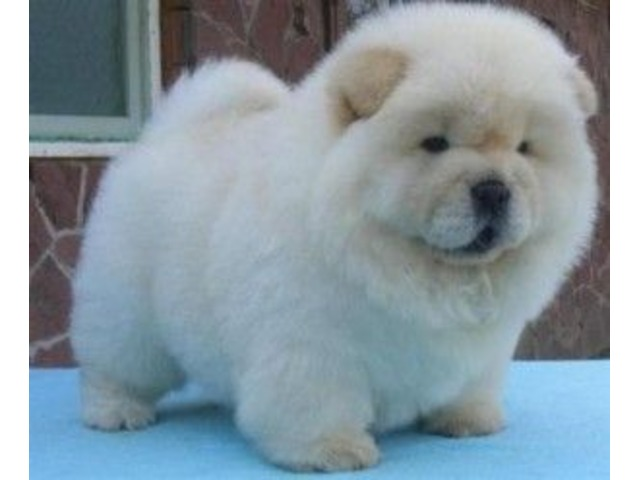 Quality Chow Chow Puppies For Sale Animals Burney Indiana