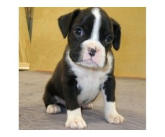 Cute and lovely male and female Boxer puppies.
