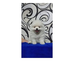 Pomeranian Pups ready just in time for Valentine's Day. | free-classifieds-usa.com