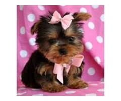 Charming Yorkshire Terrier  for rehoming