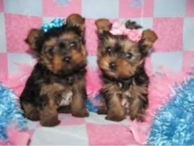 Tea Cup Yorkie Puppies For Sale Animals Dallas Texas