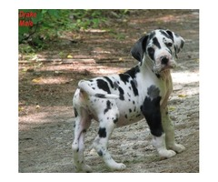 Great Danes Puppies With Great Personalities Available