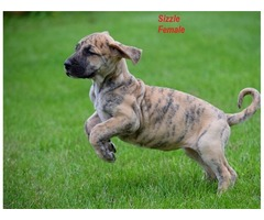 Great Danes Puppies With Great Personalities Available  | free-classifieds-usa.com