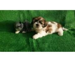 Kc Reg Shih Tzu Pup