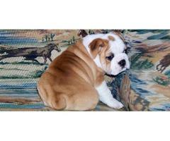 Healthy English bulldog for adoption
