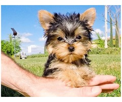 Adorable Yorkie puppies ready for new home now!!.