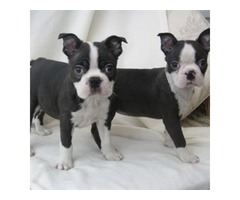 Beautiful Boston Terrier puppies looking for sale