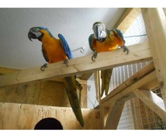 talks and sing blue and gold lovely macaw parrots