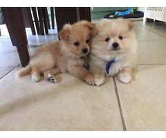 Stunningly beautiful pom puppies