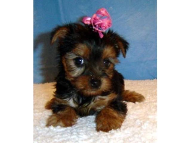 Healthy Yorkie Puppies For Adoption Animals Akiachak Alaska