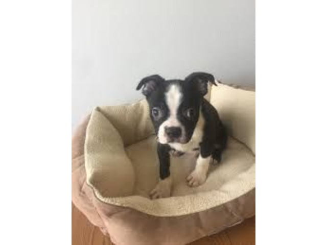 Boston Terrier puppy's  | free-classifieds-usa.com