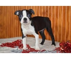 akc boston terriers