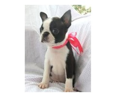 akc & ckc registered boston terrier