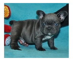 Adorable M/F Blue French Bulldog Puppies