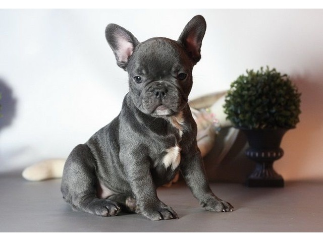 Free French Bulldogs Puppies
