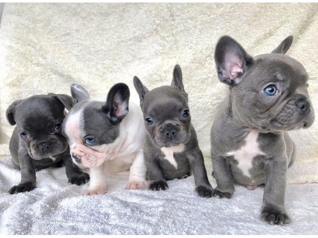 blue french bulldog puppies animals orlando florida