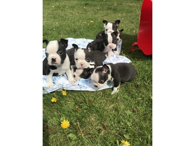 akcRegisteredBostonTerrierPuppies