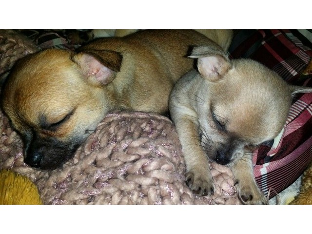 Akc Chihuahua Puppies Animals Chicago Illinois Announcement