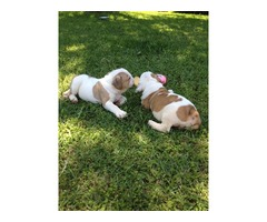 F1 ENGLISH BULLDOG PUPPIES FOR SALE