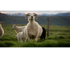 4 Day Sheep Roundup Horse Riding Tour