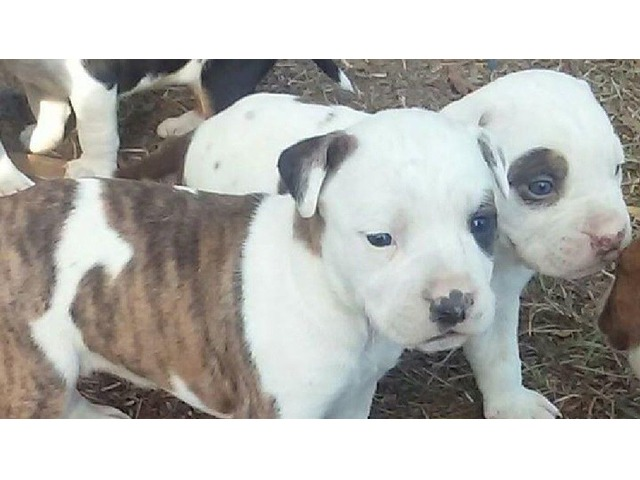 Lovely American Pitbull puppies available - Animals