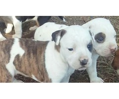 Lovely American Pitbull puppies available