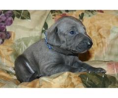 stunning pittbull puppy ready for a new home.