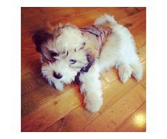 Gorgeous Havanese Puppy