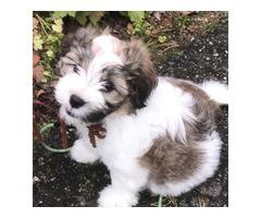 ..Outstanding Havanese Puppy.