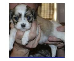 ..Female Havanese Puppy.