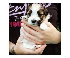 ..Nice-looking Havanese Puppy..
