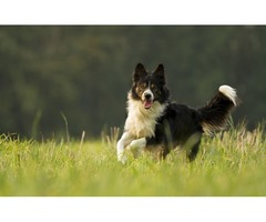 Get Well Trained Collie in your city | Stirling collies