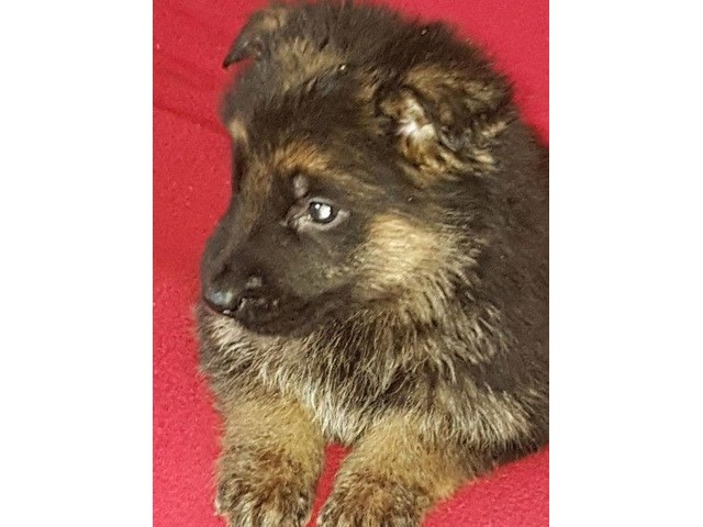 Beautiful German Shepherd Pups Animals Coeur D Alene Idaho
