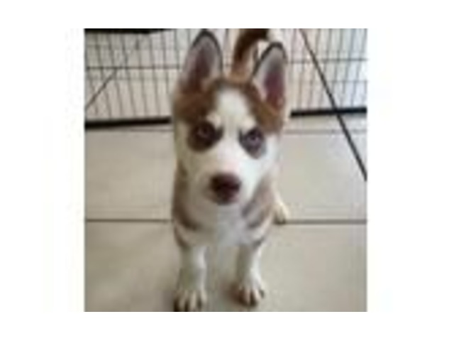 Siberian Husky Puppies Available Now | free-classifieds-usa.com