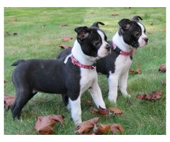 Beautiful Boston Terrier puppies looking for new homes