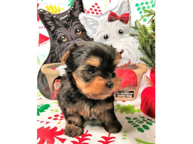 Teacup Yorkie Puppies For Sale Animals Bakersfield California