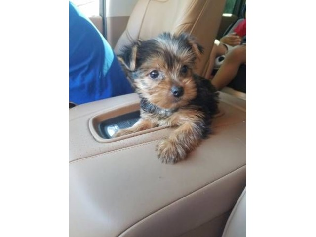 Lovely Teacup Yorkie Puppies Ready Animals El Paso Texas
